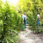 Arrestohet 50-vjeçari nga Memaliaj, i gjejnë kanabis në bahçe