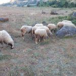 Dy barinj në 'sherr' për disa dele, ndërhyn policia