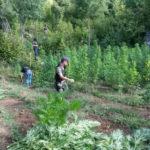Tepelenë, zbulohet kanabis i fshehur në fshatin Hormovë