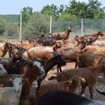 Shifrat për blegtorinë/ Gjirokastra e para për numrin e dhive, e dyta për delet, e fundit për derrat