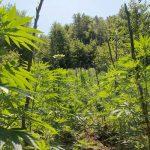 Zëri i Amerikës: Rikthehet kultivimi i kanabisit në jug, mbillet edhe në Lazarat