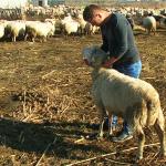 Shpallet në kërkim i riu nga Tepelena, vodhi me 'Benz' katër kokë dele në Andon Poçi
