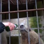 Në Shqipëri e ushqenin me birra dhe raki, shihni ku ka përfunduar ariu Tomi (VIDEO)