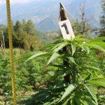 Tepelena 'hambar' i kanabisit, zbulohen 344 rrënjë të tjera
