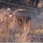 VIDEO/ Beteja e vdekjes! Qeni apo hiena, ja kush triumfon