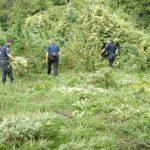 Zbulohet një tjetër parcelë me kanabis në Tepelenë, policia mban sekret numrin e rrënjëve të asgjësuara