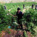 Zbulohet parcela me kanabis në Tepelenë, kryeplaku i Gusmarit kallëzohet në Prokurori