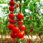 Shqipëria e para në rajon për eksport domatesh/ Në BE, më shumë domate shqiptare se Greqia, Serbia, Rumania e Kroacia marrë bashkë
