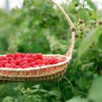 Mjedrat shqiptare bën mrekulli në organizëm, ja cilat janë efektet e saj