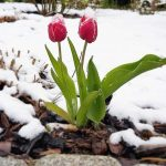 Pranvera rikthen dëborën